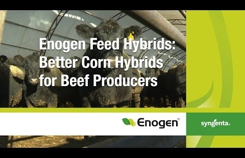 Enogen Feed Hybrids: Better Corn Hybrids For Beef Producers